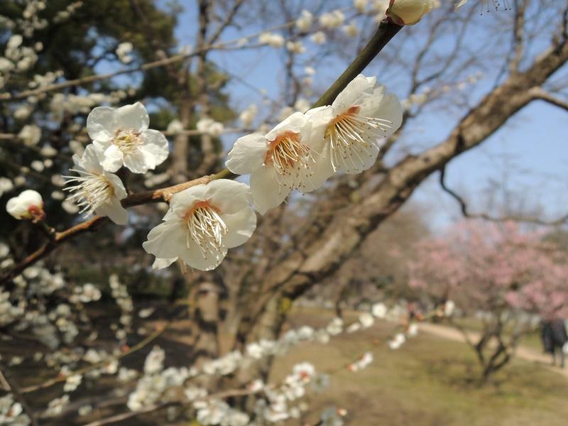 京都御苑 梅林 その3