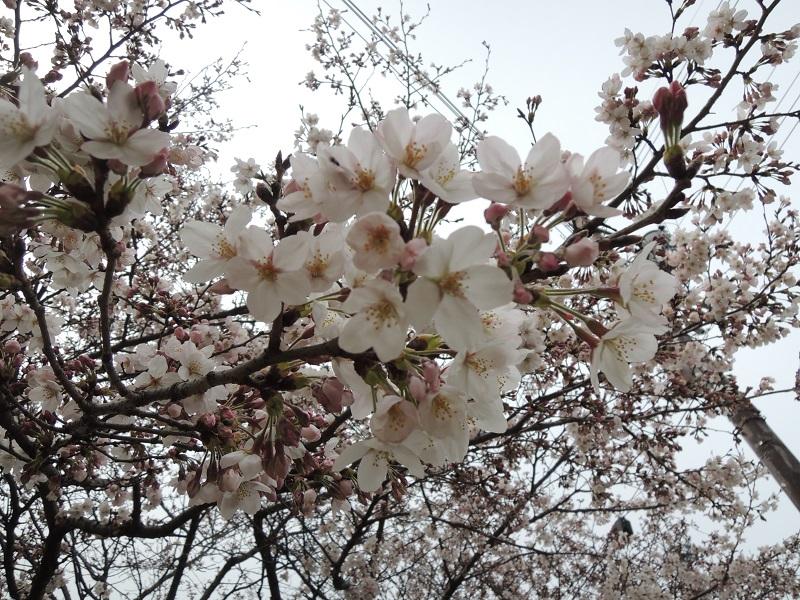 大津の桜 その1