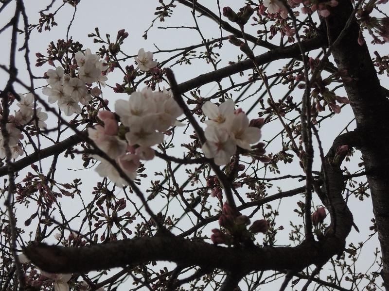 大津の桜 その4