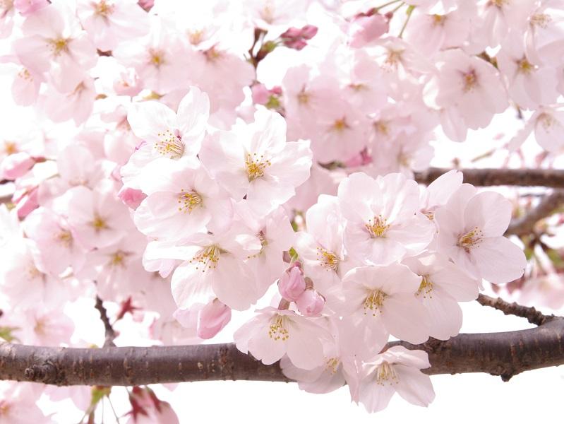 天王寺公園の桜