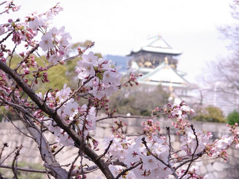 桜の花 後ろはお城