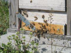 【写真】巣箱の入口の群がり忙しそうなミツバチたち