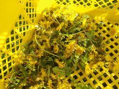 【写真】アランの餌カゴに入っていたタンポポの花々