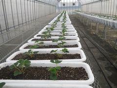 【写真】親苗を植えたプランターを並べた育苗ハウスの様子