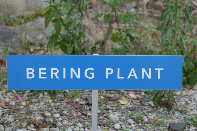bering plant035