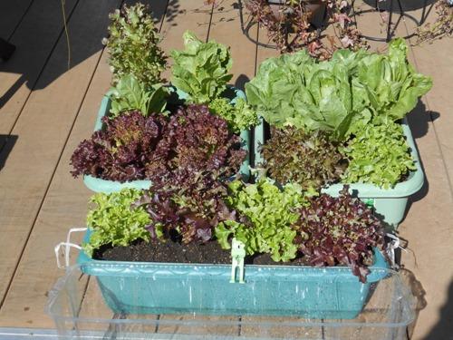 160302leaf_lettuce2