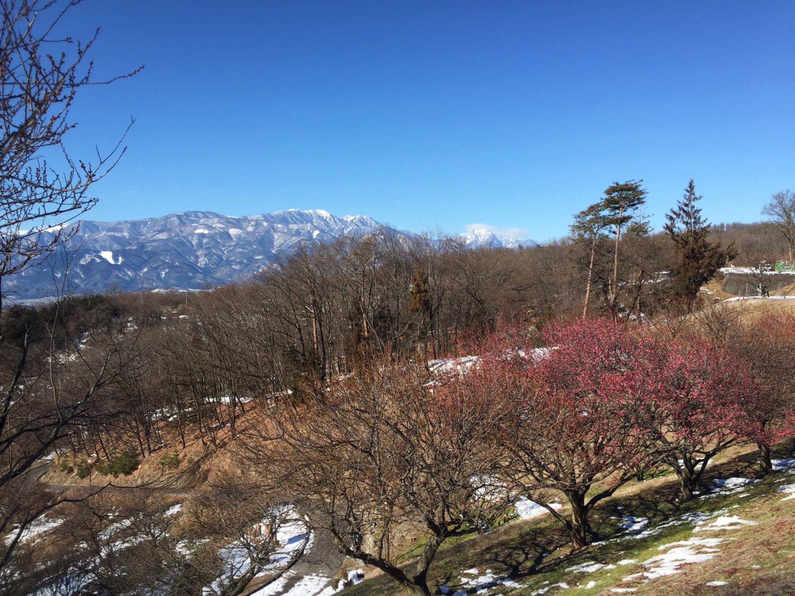 寒さに負けずに咲く梅の花(甲斐敷島・梅の里)