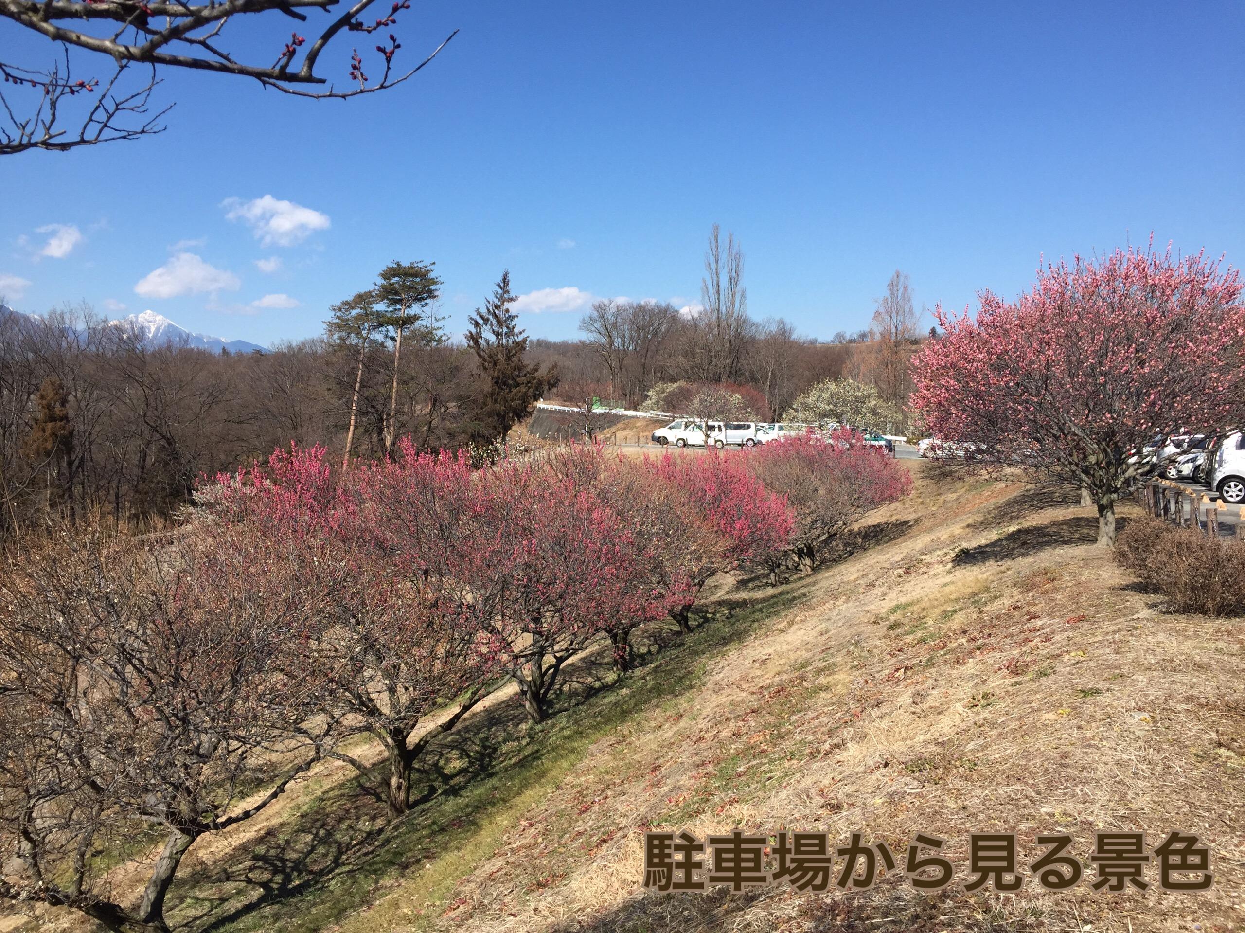 見頃を迎えた梅の花(甲斐敷島・梅の里)