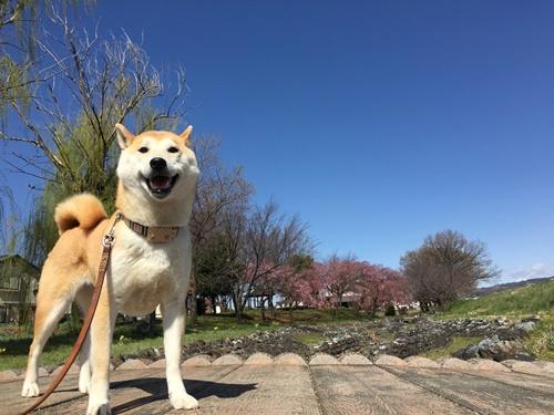 散歩コースのしだれ桜