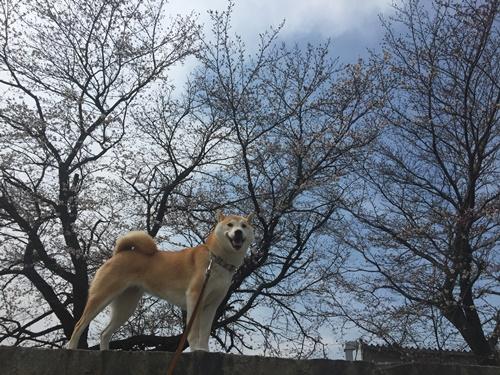 散歩道の桜とまたマダニ