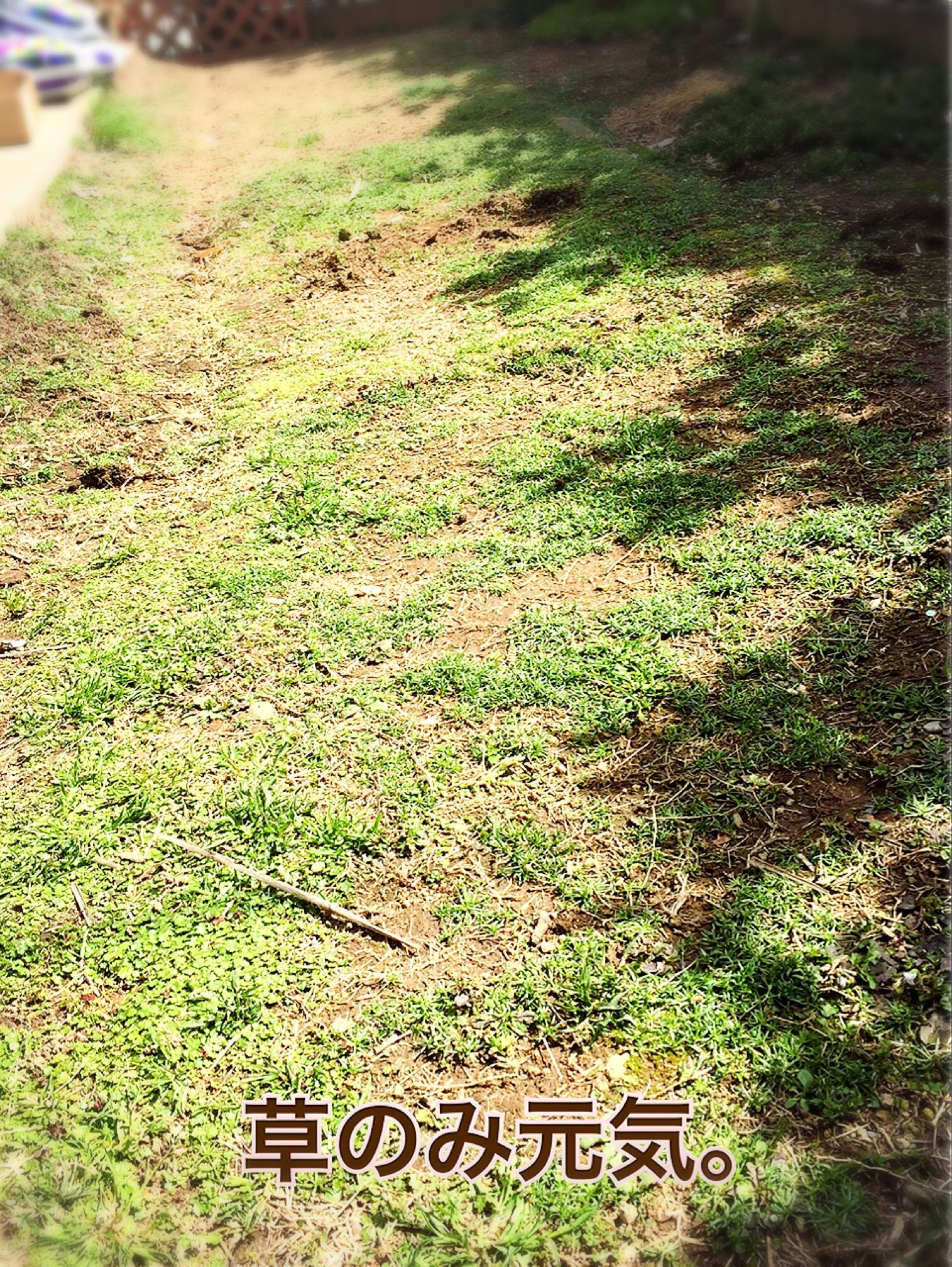 4年ぶりに芝生の張り替え