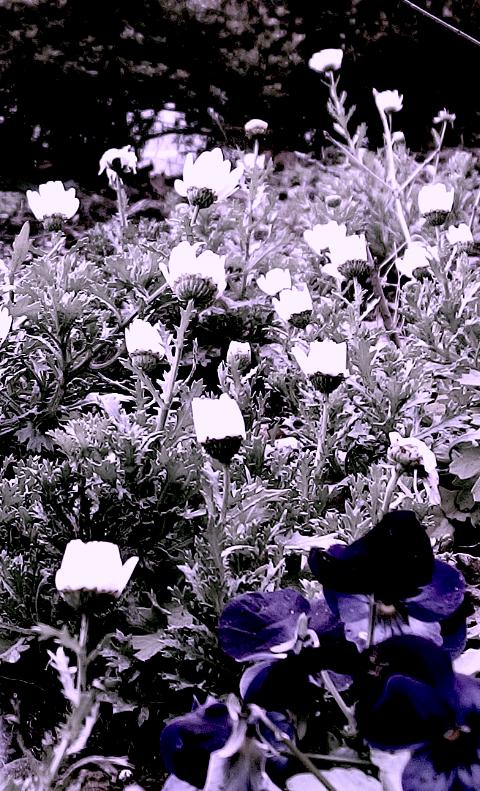 パンジーモノクロ花壇