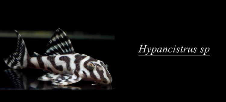 hypancistrus.jpg