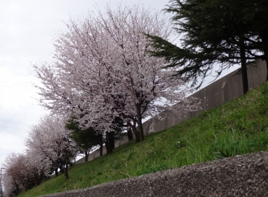 更生桜も盛り返してきました。