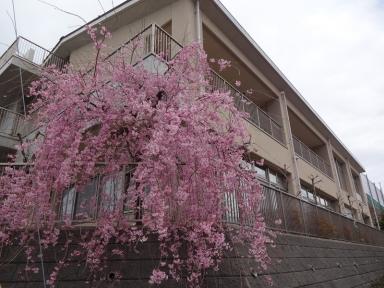 公民館集いの桜・学びの桜