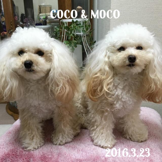 ココ・モコ  1歳6ヶ月 ワ━ヽ(*´Д`*)ノ━ィ!!!!