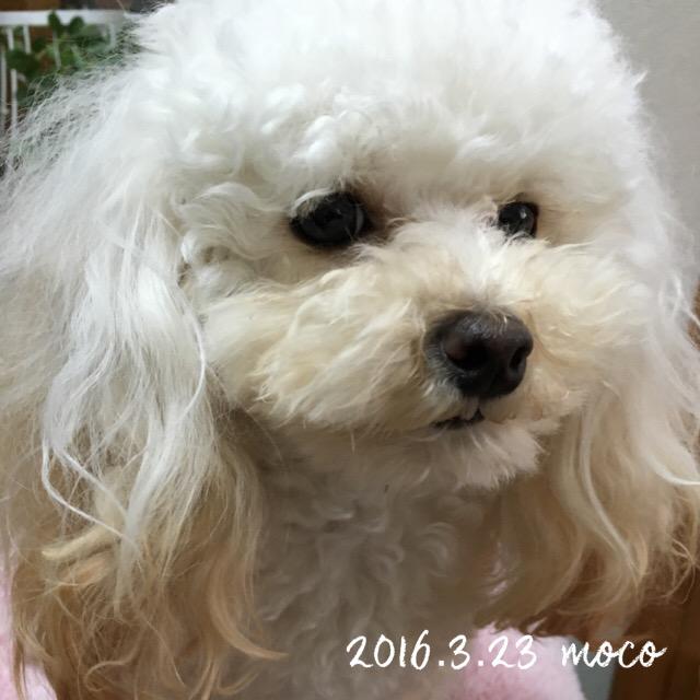 コモコ  1歳6ヶ月 ワ━ヽ(*´Д`*)ノ━ィ!!!!