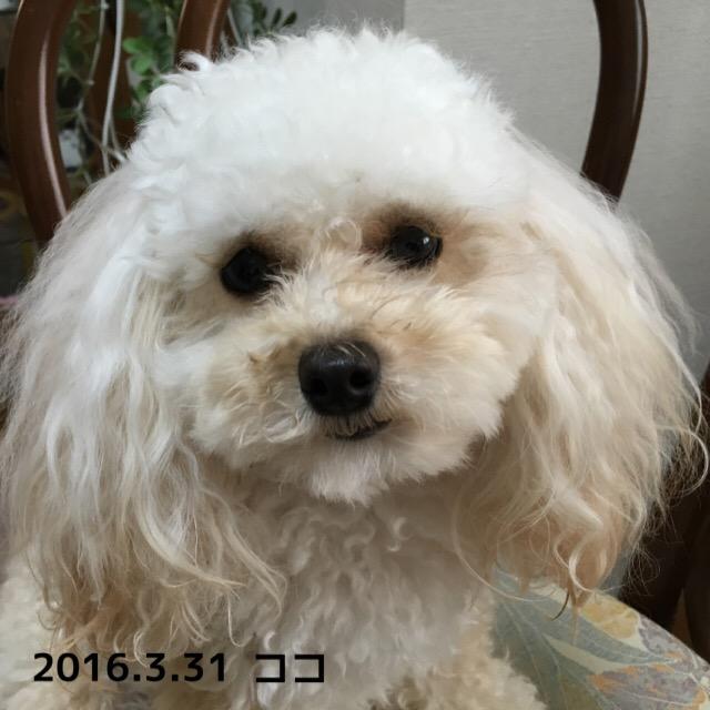 2016.3.31 アイビタ30本目 ココ