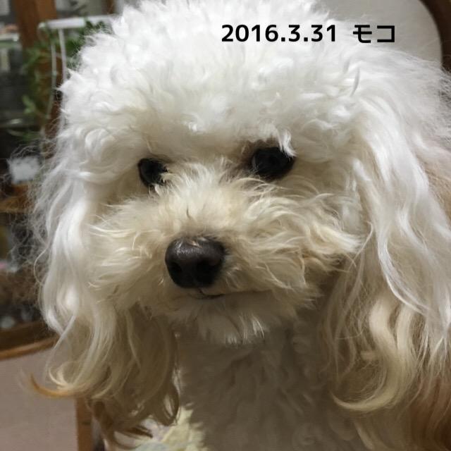 2016.3.31 アイビタ30本目 モコ