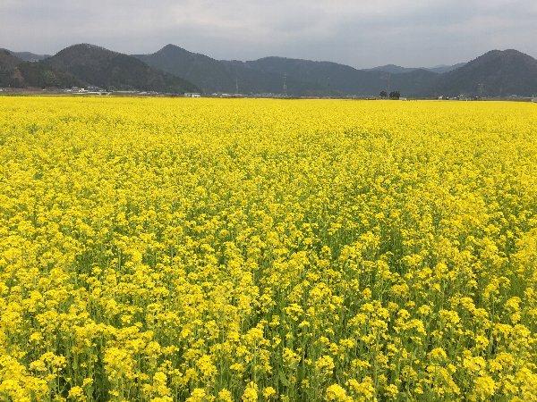 nanohana-sabae-011.jpg